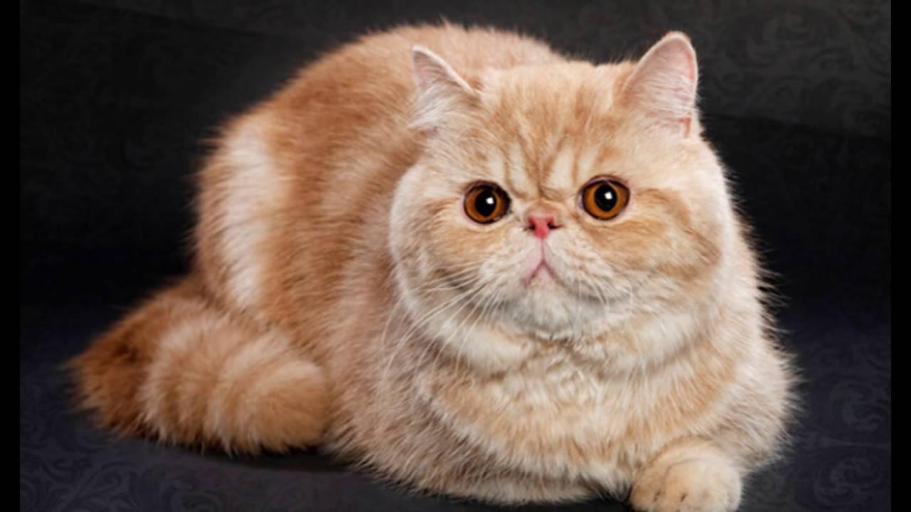 Порода кошек с приплюснутой мордой — познаем вопрос