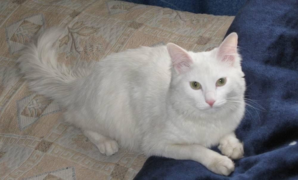 Нефрит у кота