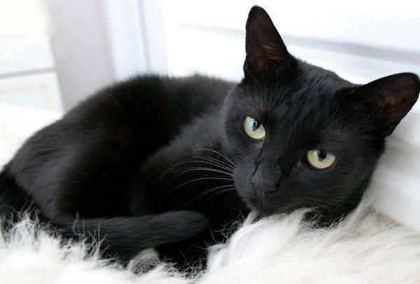 Порода кошки для аллергиков
