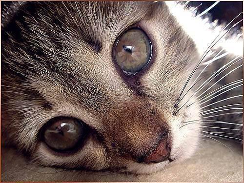 Почему у котенка слезятся глаза- чем лечить, что делать?