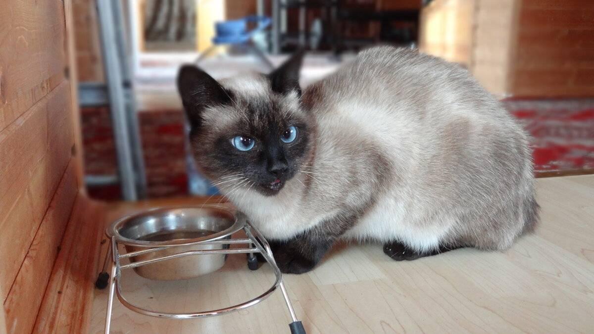Чем кормить британскую кошку: правильное питание чем кормить британскую кошку: правильное питание