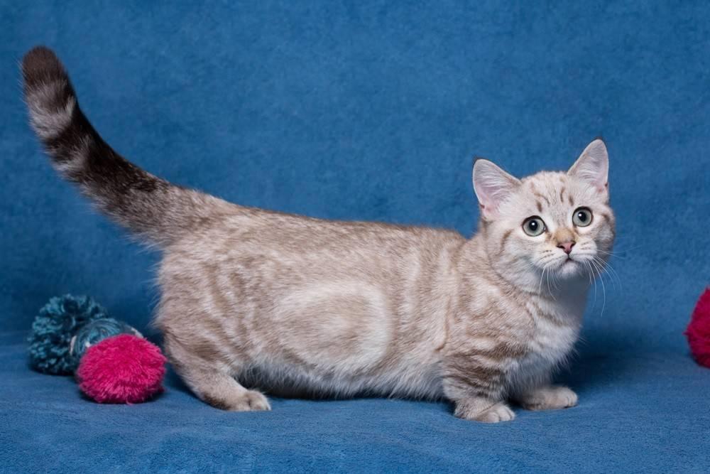 Кошки-малютки, или десятка самых маленьких пород