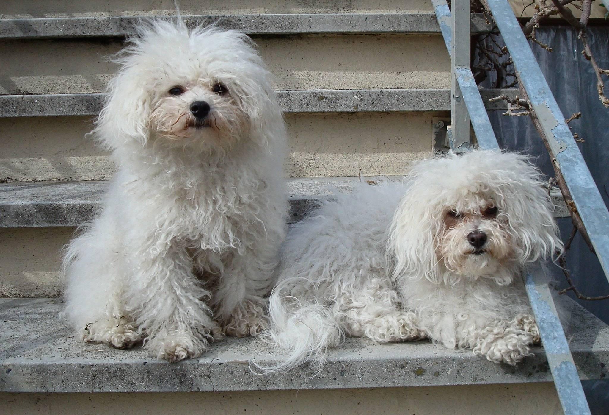 Порода собаки болоньез: фото и описание