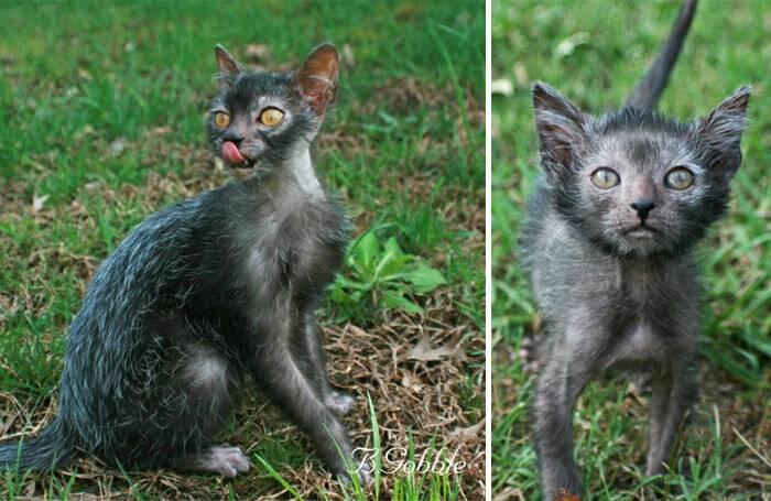 Ликой (кошки-оборотни) — описание породы и характер кошки