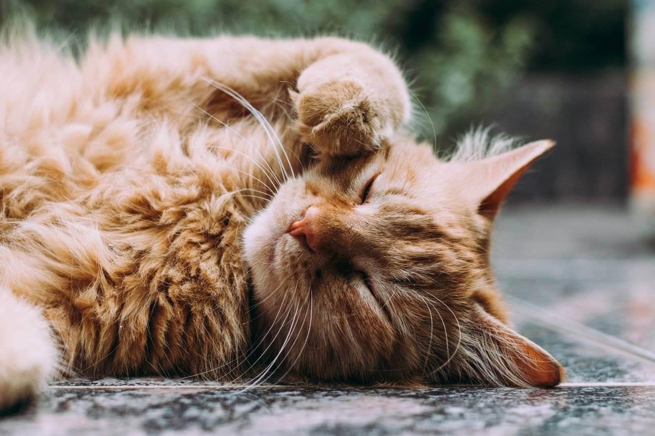 Есть ли аллергия на британских кошек?