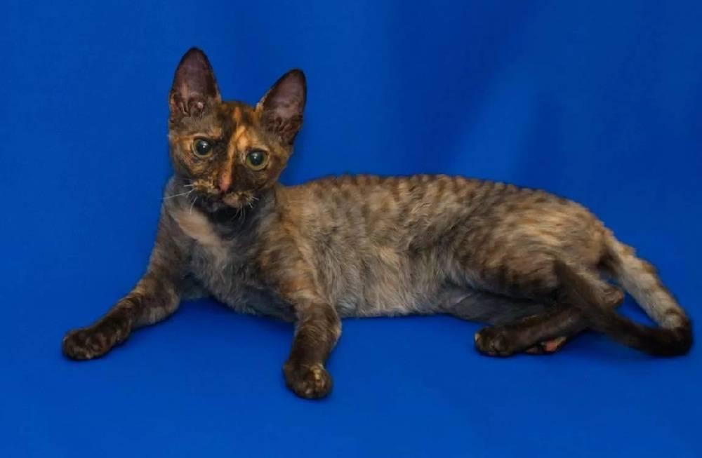 Уральский рекс — порода кошек