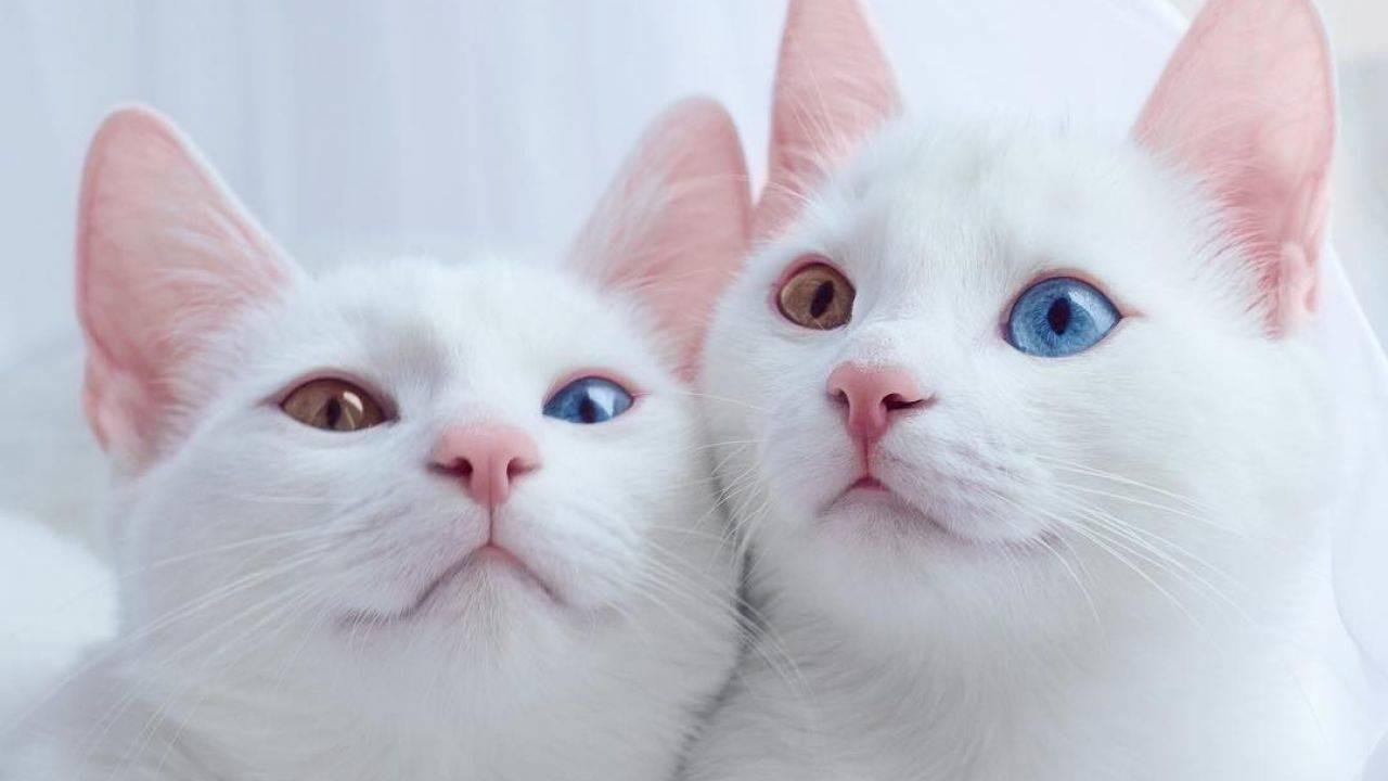 Кошки с разными глазами