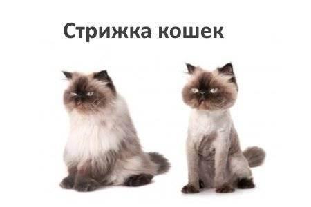 Стрижка кошек: подготовка, выбор и для чего это нужно?