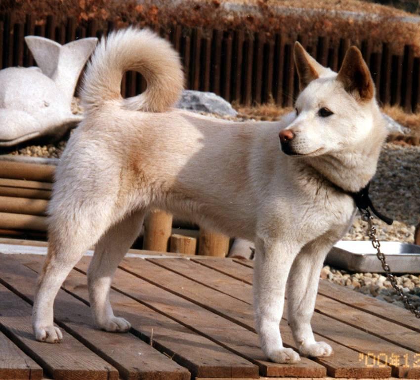 Японская порода собак сансю - описание, характер, характеристика, фото сансю и видео, цена