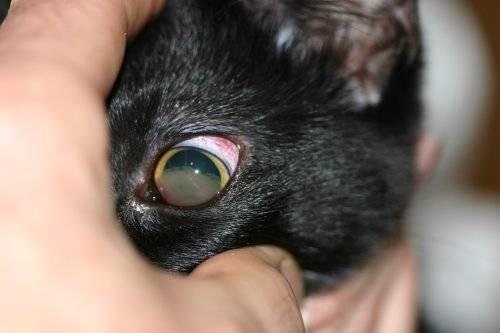 Коронавирус у кошек: симптомы и методы лечения