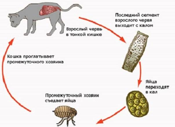 Виды паразитов, передающиеся от кошки к человеку