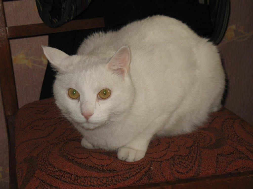 Темные выделения из глаз у кошки: причины появления коричневой жидкости, методы лечения