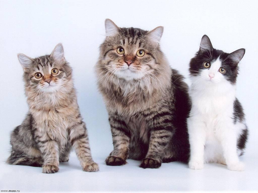 Сибирская кошка белого окраса (21 фото): особенности окраса, описание породы, тонкости ухода за взрослыми котами и котятами