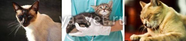 Инсульт у кошки: первые признаки, лечение, последствия   рутвет - найдёт ответ!