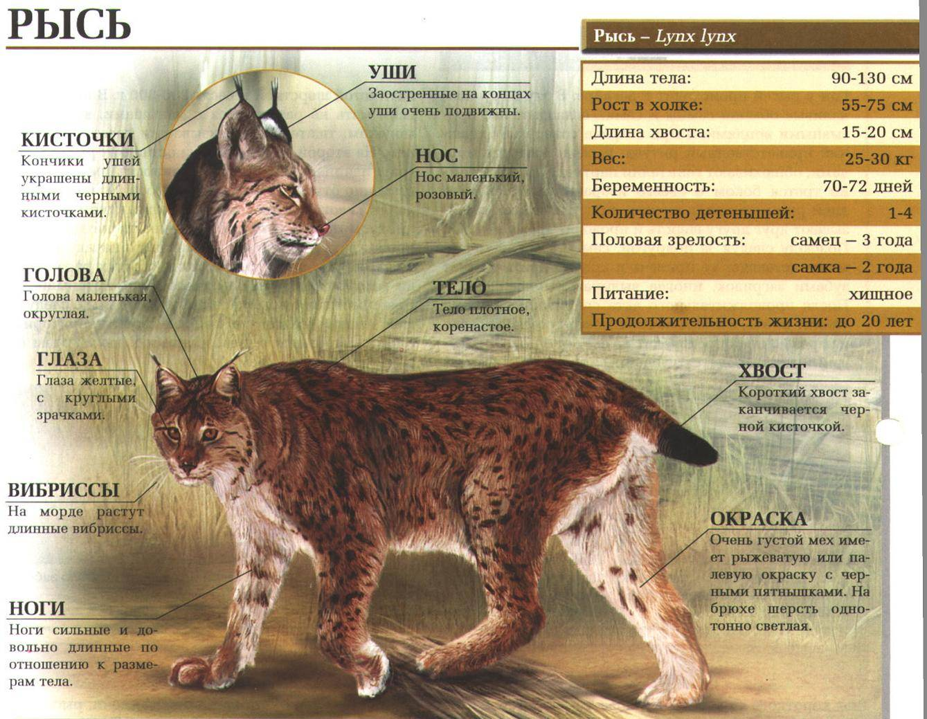Чем привлекательна загадочная бомбейская кошка – миниатюрная пантера - мир кошек