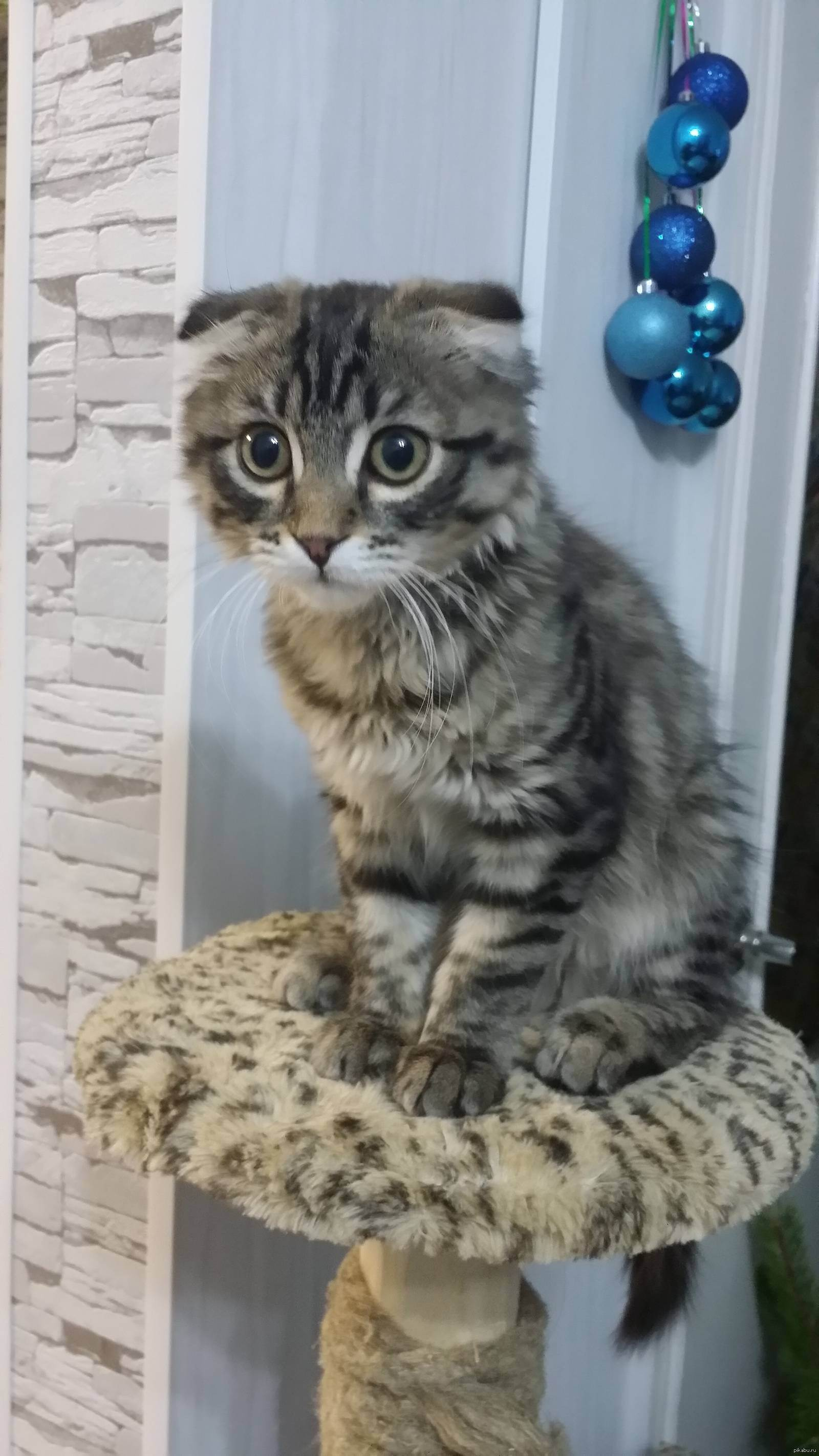 Котенок метис британского кота и шотландской кошки