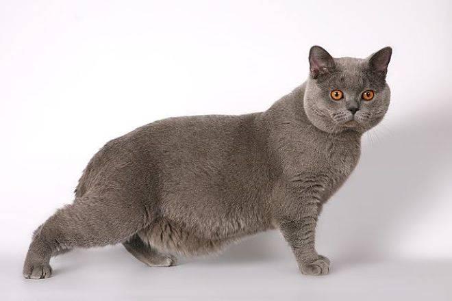 У шотландской кошки висит кожа на животе. почему у кошки обвис живот? как выглядит британская кошка