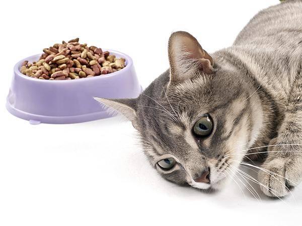 Корм для старых кошек: чем кормить пожилого кота старше 15 лет, если он ничего не ест?