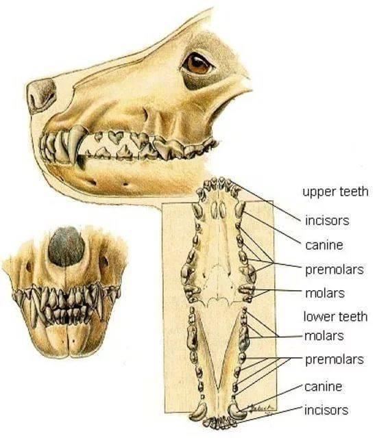 Сколько зубов у кошки — схема, у котнка, взрослой особи