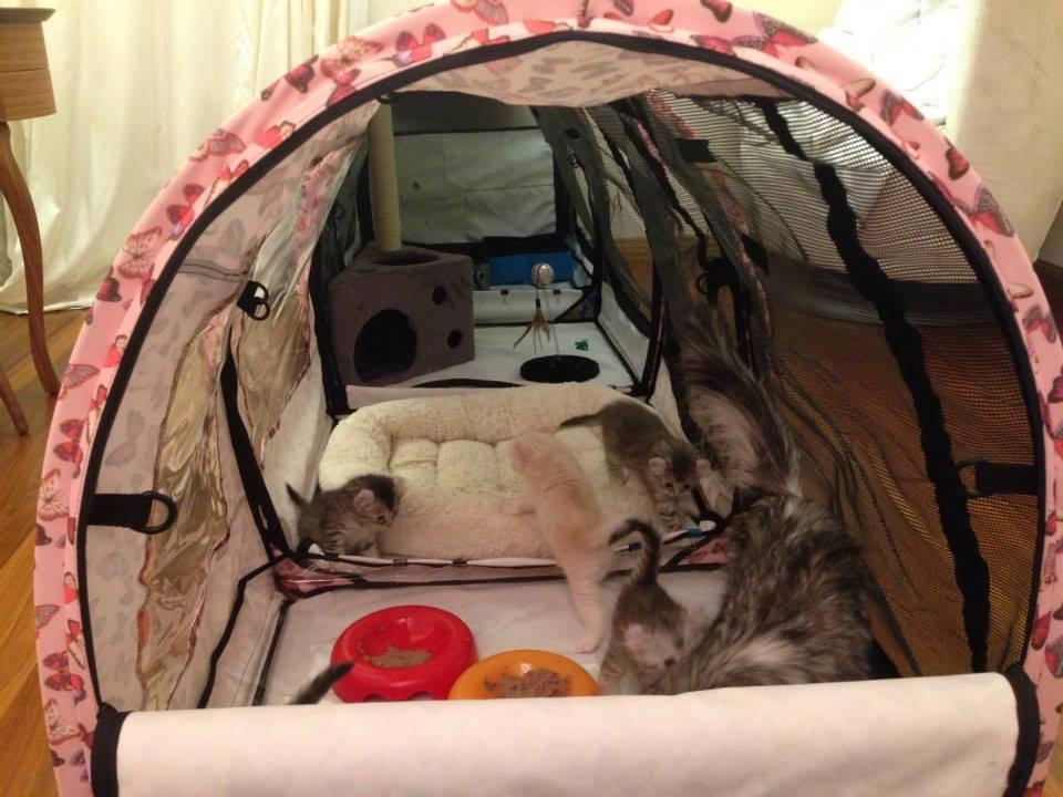 Подготовка к родам у домашней кошки