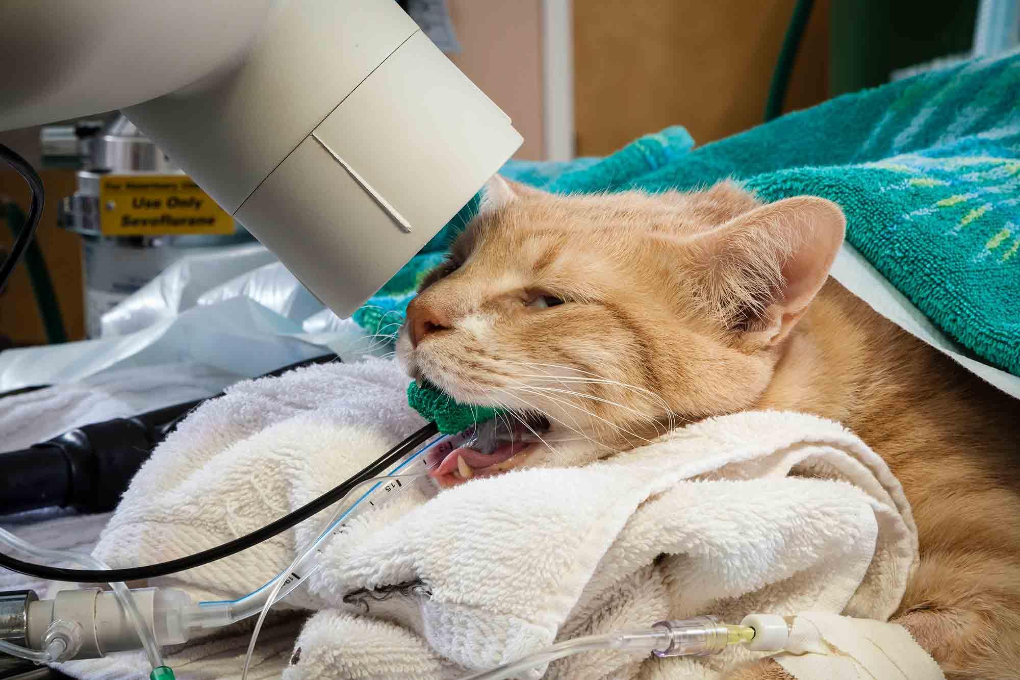 Кот кашляет и чихает: как вылечить в домашних условиях?