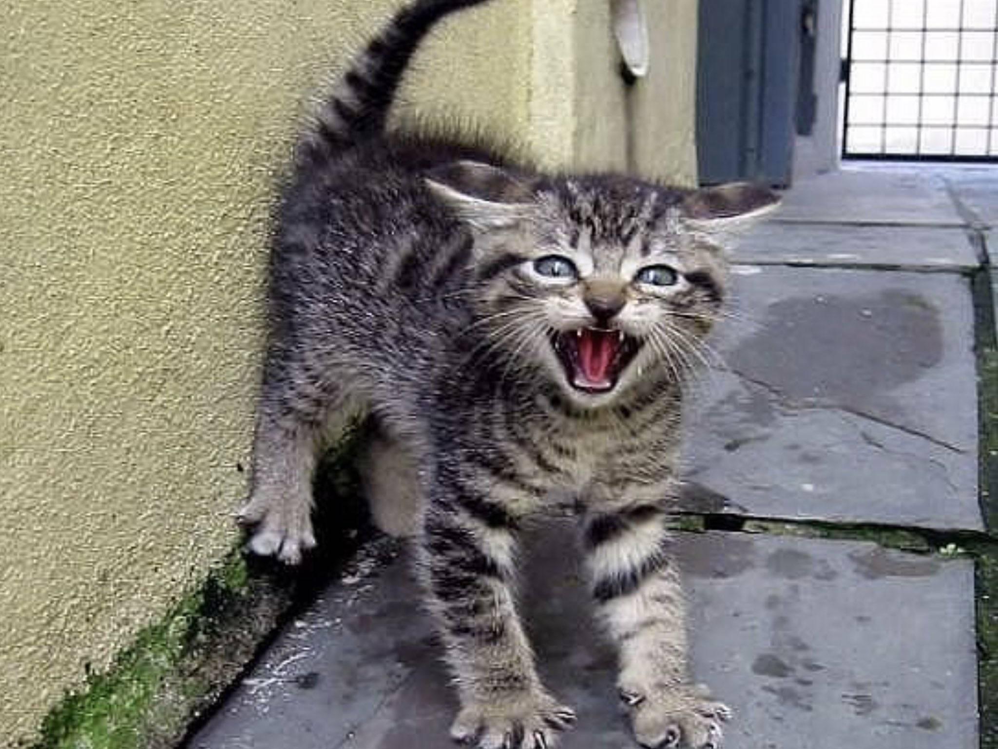 Что означает шипение кошки: самые распространенные причины поведения животного