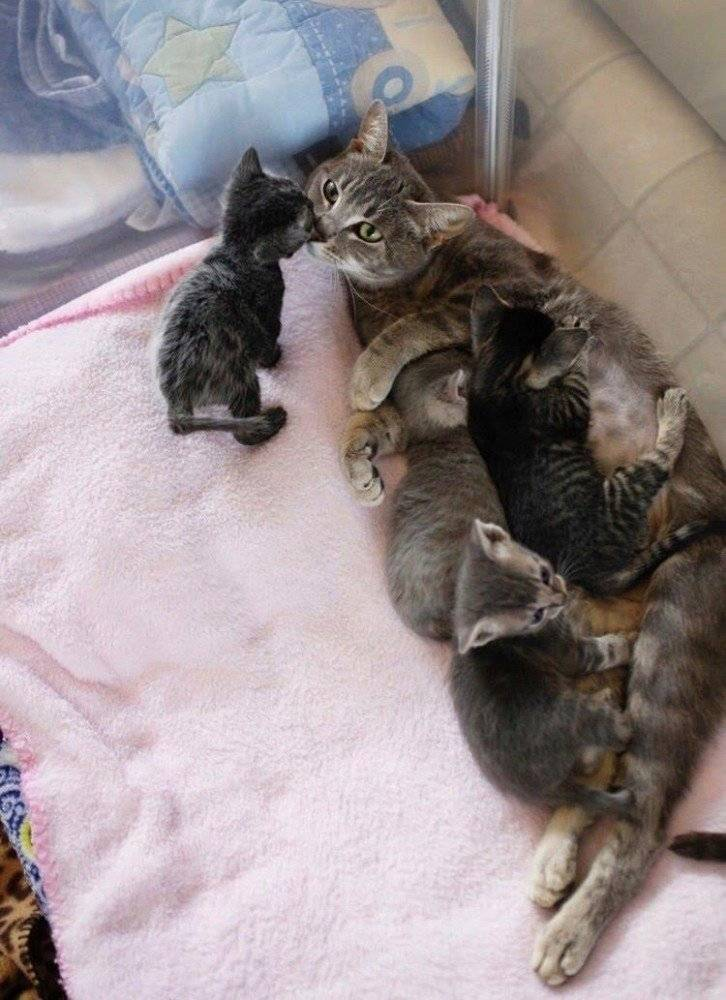 Сколько длится беременность у кошек, от чего зависит срок вынашивания котят (в том числе, в первый раз), уход за беременной питомицей