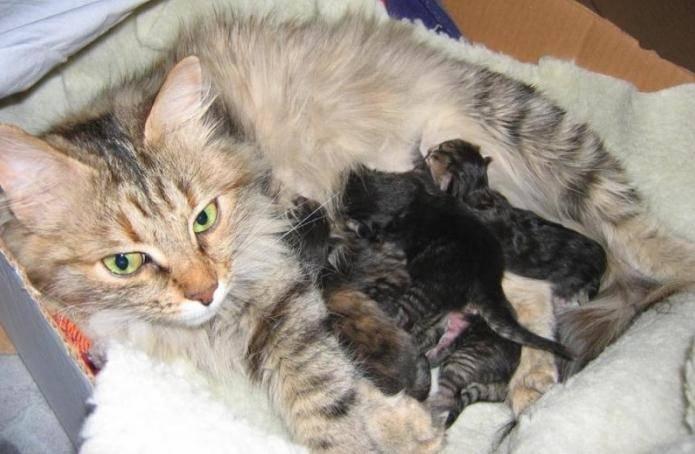 Когда у котят открываются глаза - зависит от породы | рутвет - найдёт ответ!
