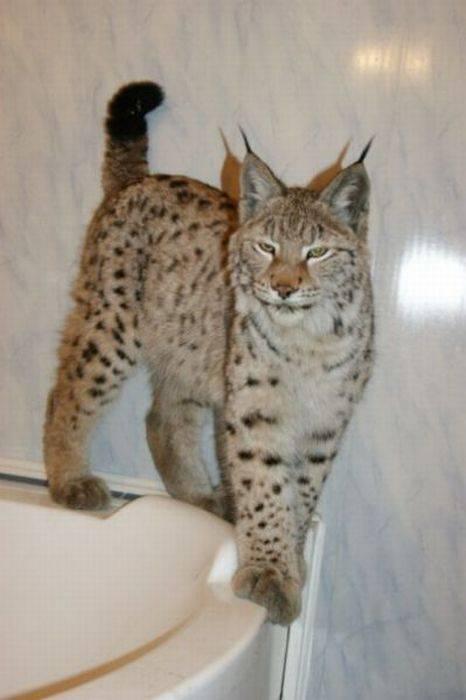 Как называется порода домашних кошек с кисточками на ушах, похожих на рысь?