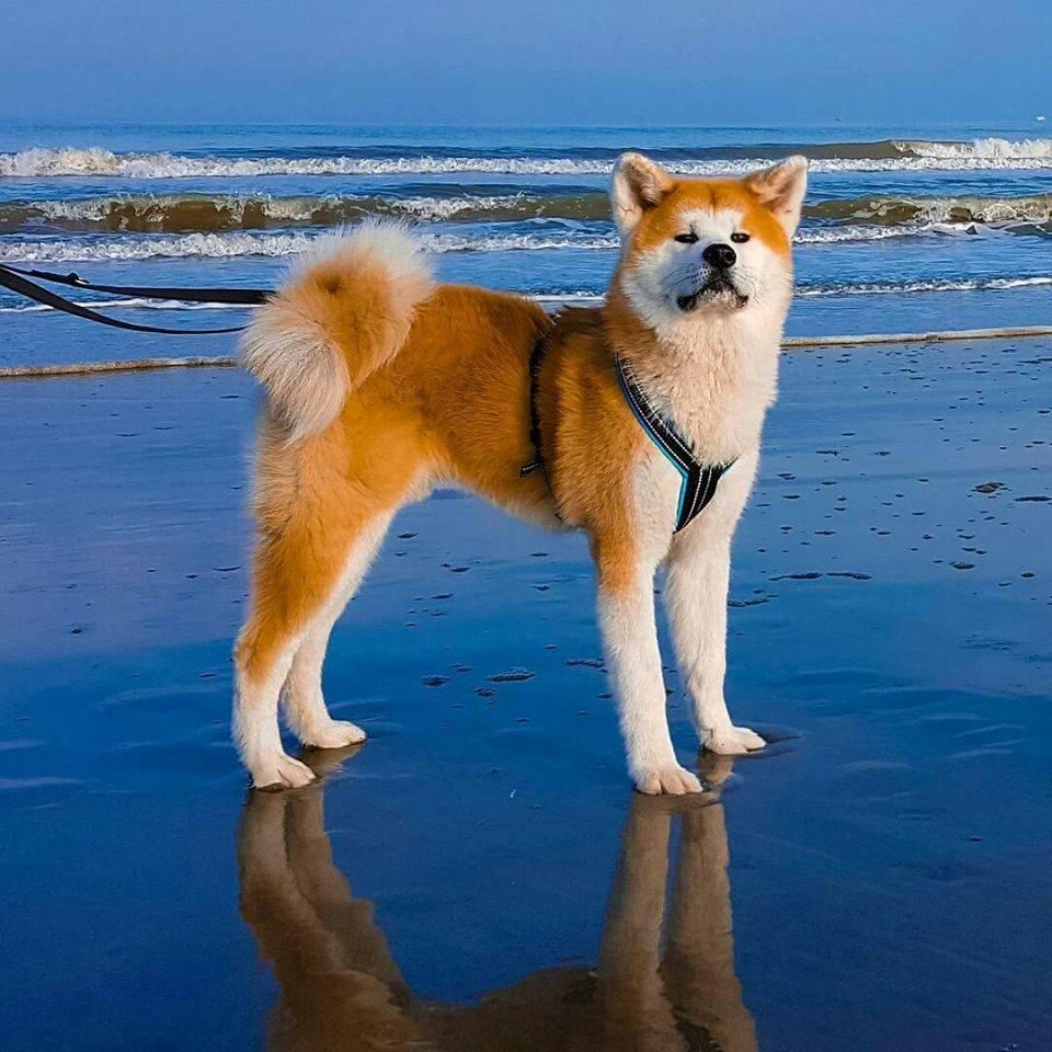 Японская акита-ину: описание породы из одноименного города, характеристики, отличия от других собак – белой овчарки, лайки, хаски, содержание, цены на щенков и фото