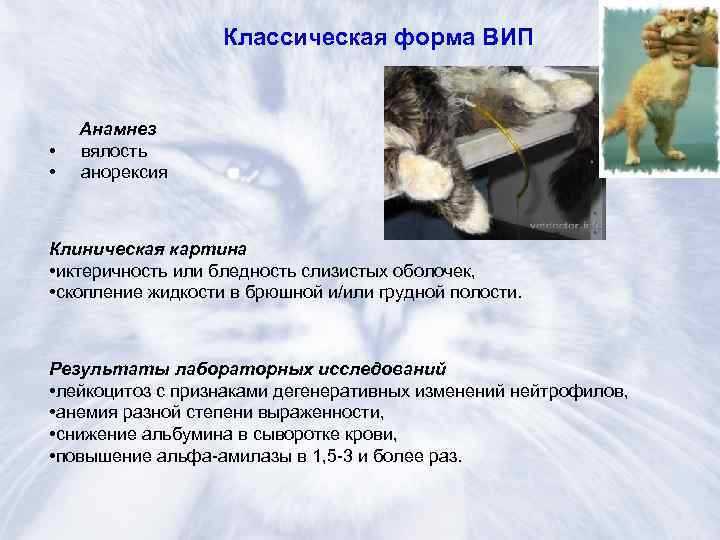 Симптомы болезни кишечника у кошек симптомы и лечение