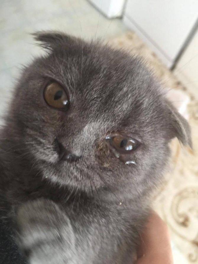 У кошки слезятся глаза: что делать и как лечить в домашних условиях