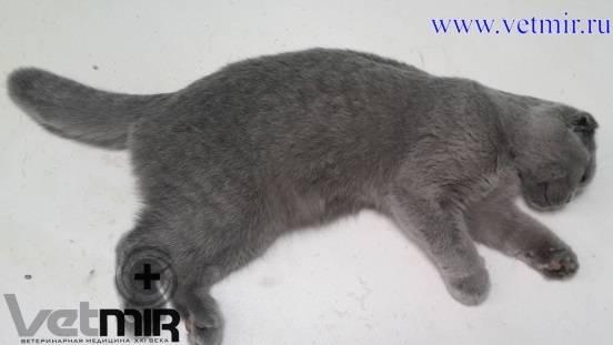 Артрит у кошек и котов
