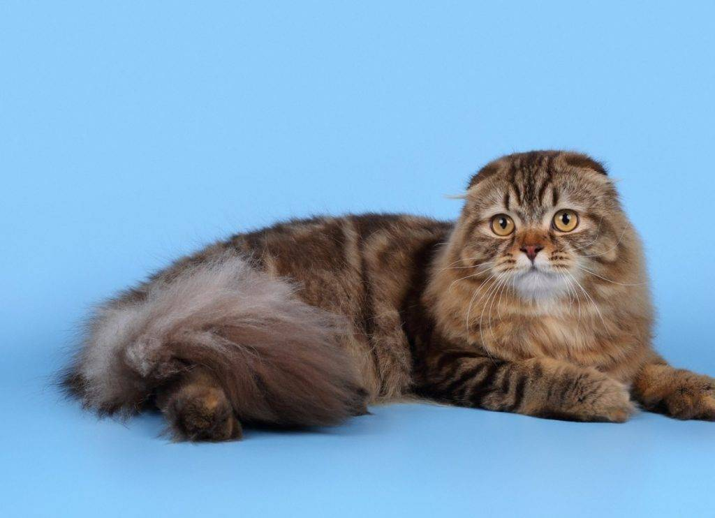 Окрас шотландских вислоухих кошек (33 фото): табби и трехцветные, черепаховые и колор-пойнт. черно-белый, шоколадный и другие цвета