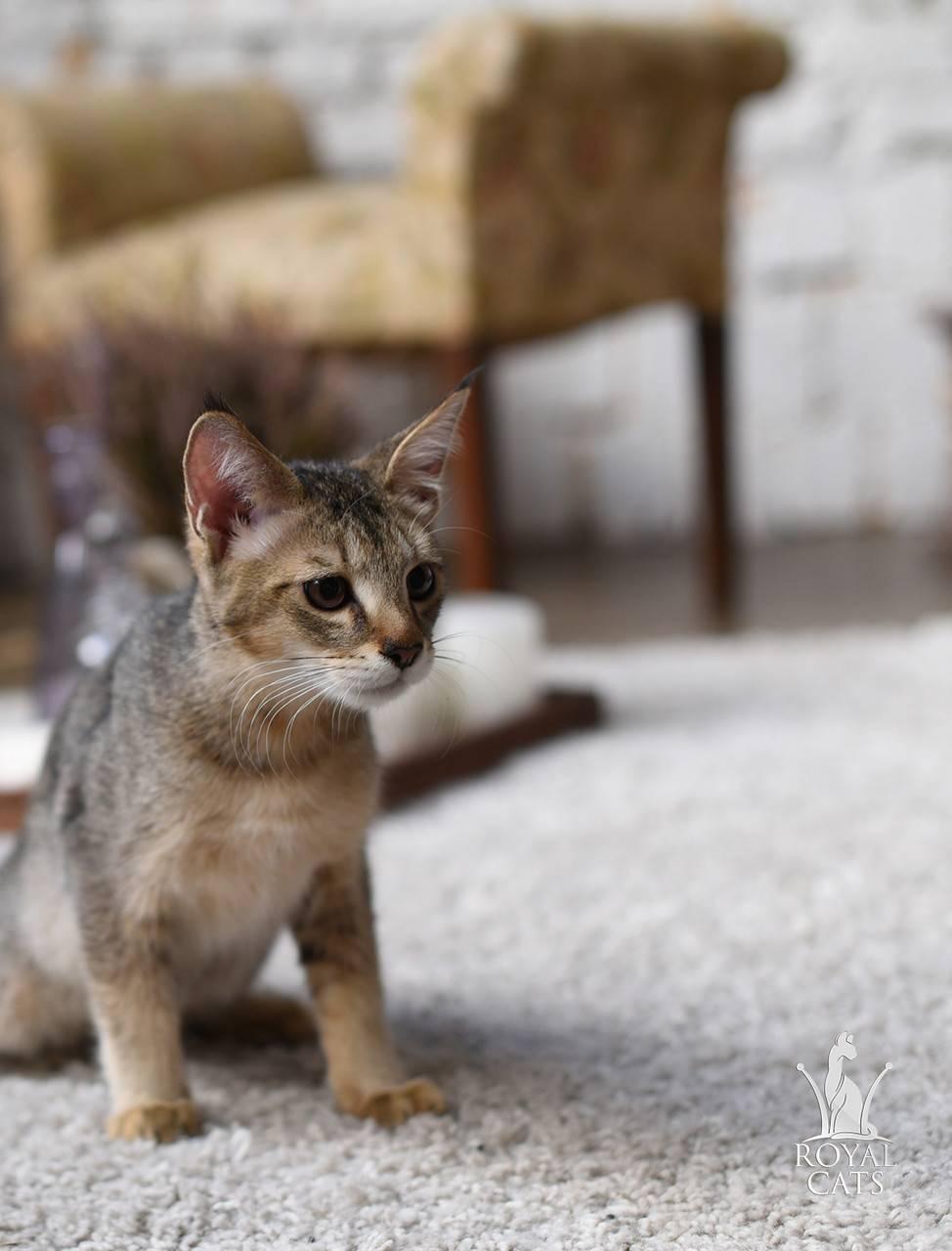 Камышовый кот: 100 фото, цена, описание породы, видео, образ жизни и среда обитания, отзывы, история породы + интересные факты