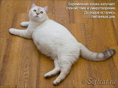 Сколько недель длиться беременность у британской кошки