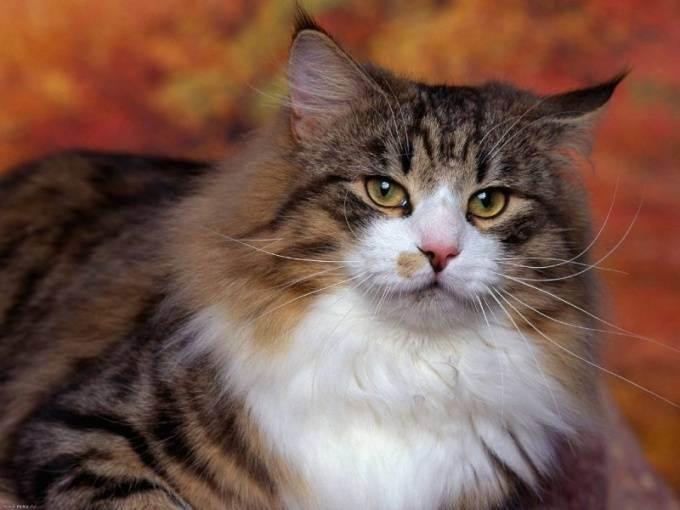 Стерилизовать кошку: можно ли и в какой период лучше?