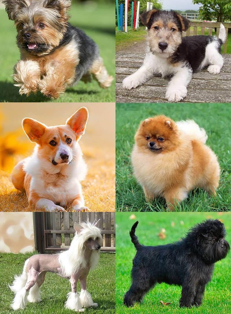 Породы собак для квартиры средних размеров: без запаха (фото и названия)