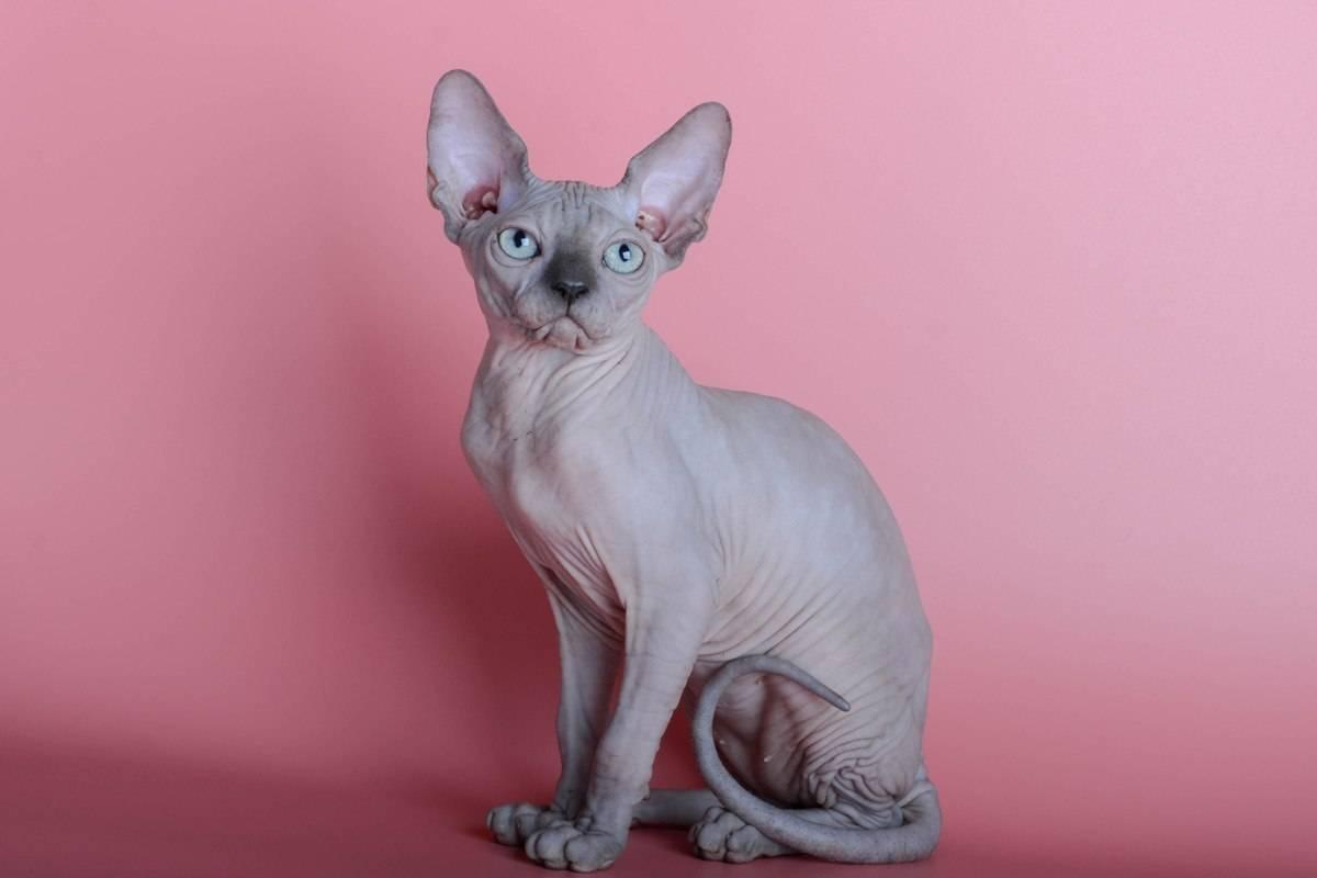 Бамбино: все о кошке, фото, описание породы, характер, цена