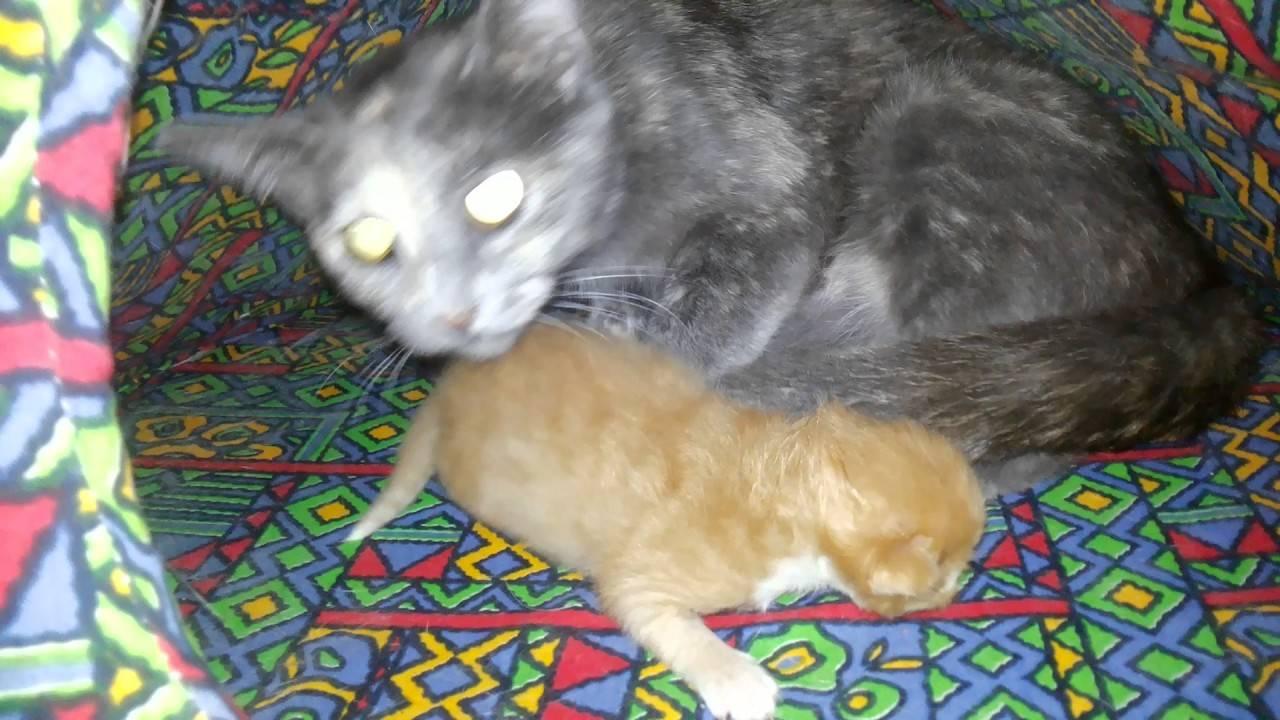 Сколько котят рождается у кошки за раз