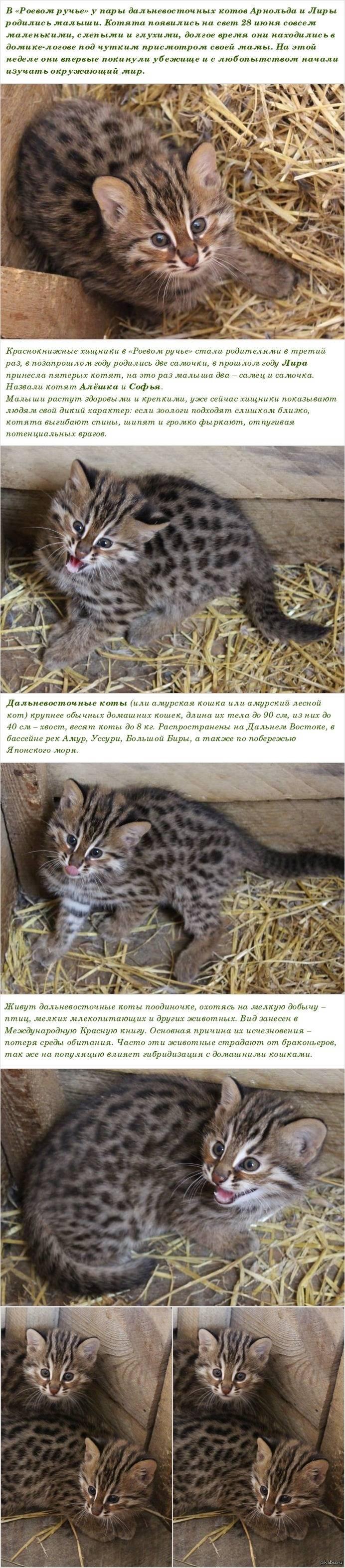 Амурский лесной кот – сообщение; амурский лесной кот – описание, среда обитания, повадки