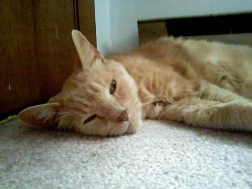 Распространенные инфекционные болезни у кошек