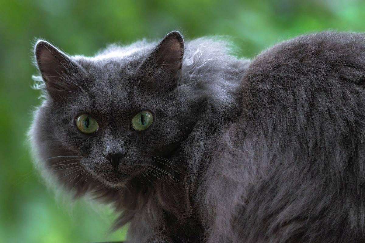 Русская голубая кошка. уход, описание, питание, окраски