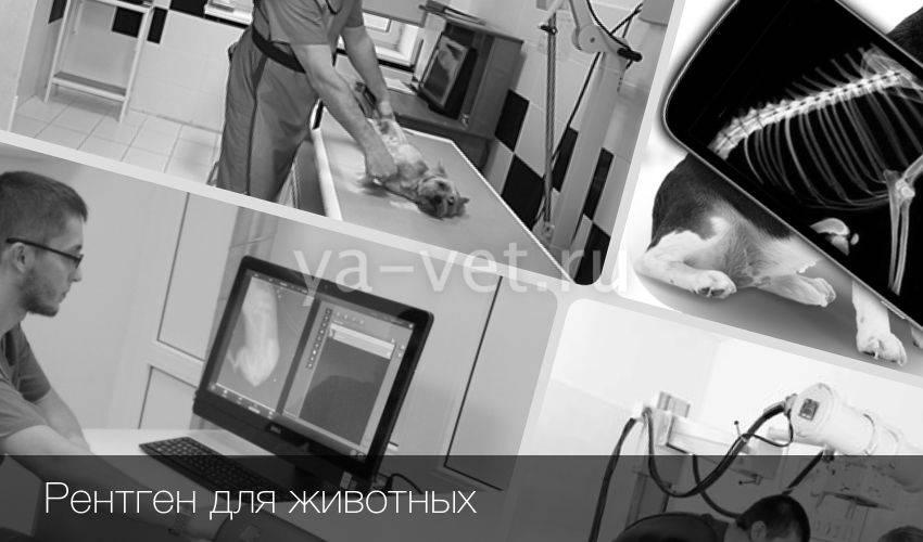 Рентген кошке в ветклинике и на дому