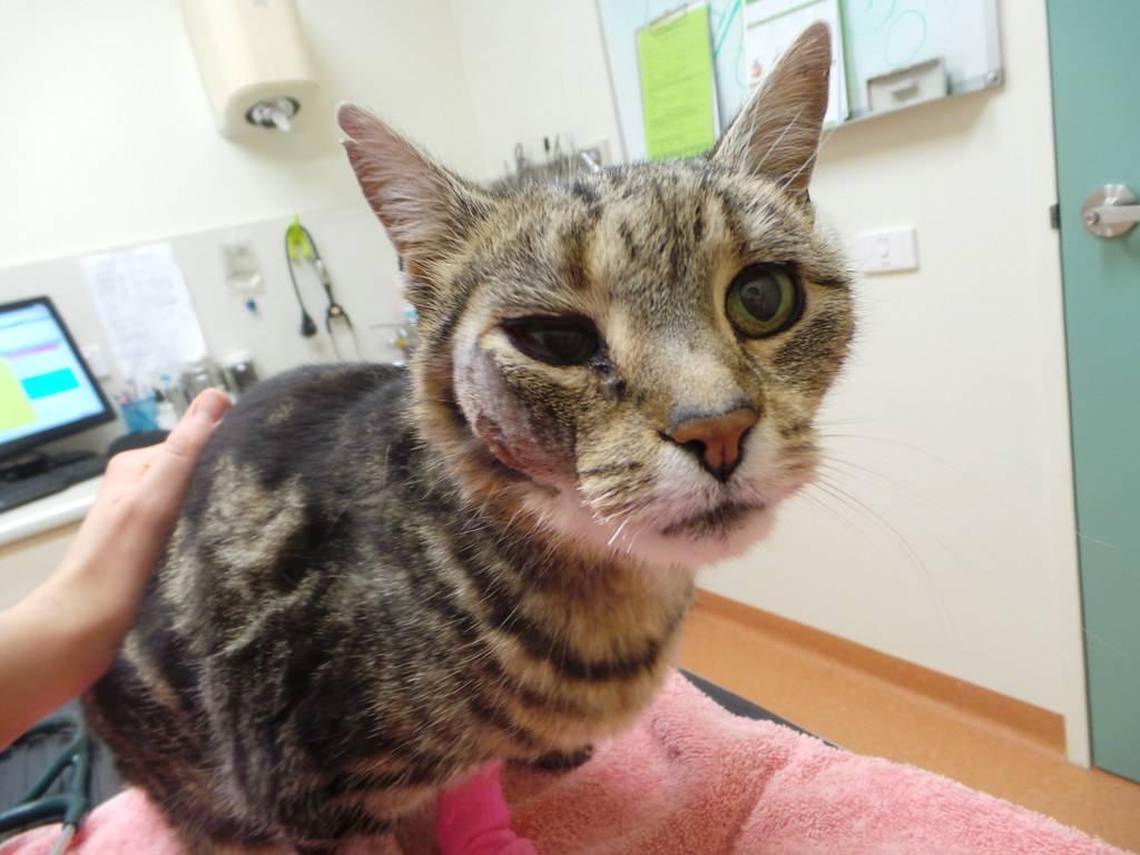 У кота опухла щека и заплыл глаз что это