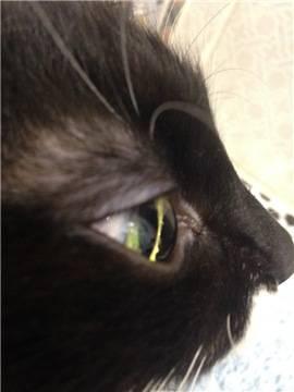 Коричневые выделения из глаз у кошки: причины появления