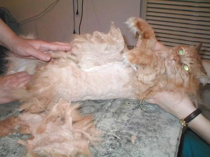Как в домашних условиях убрать у кота колтуны? как удалить колтуны из шерсти у кошки? устройство для вычесывания колтунов у пушистого кота