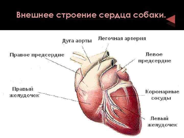 Анатомия и особенности строения скелета кошки, роль в работе органов: изучаем суть