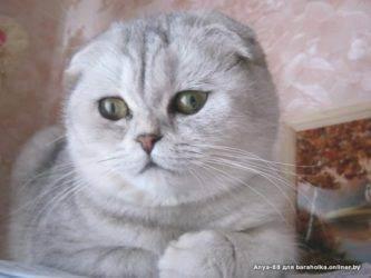 Разведение вислоухих кошек — сложный процесс, к которому нужно тщательно подготовиться