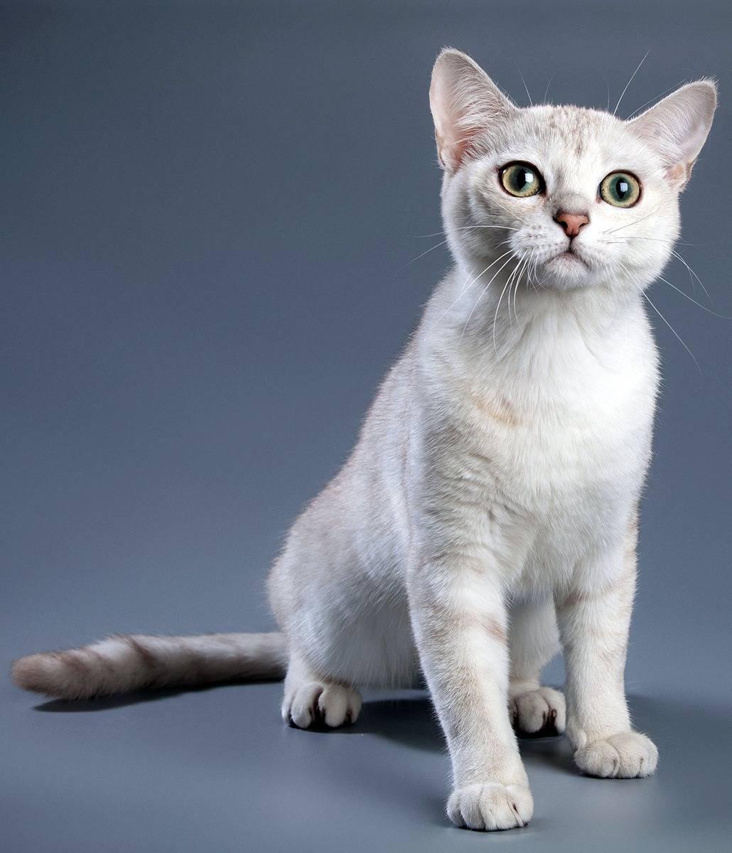 Бурмилла: особенности кошек, условия содержания и разведение